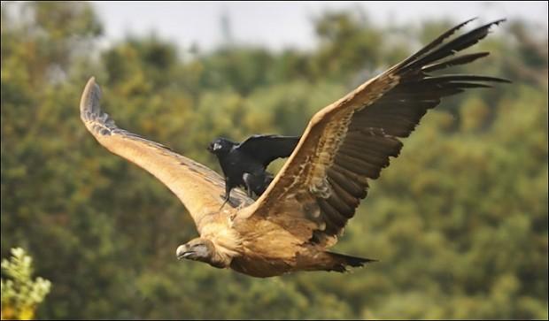 鳥の背中にのるムササビが撮られる。
