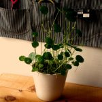 水道水に含まれる養分だけで育つ植物